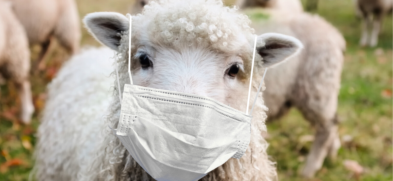 Sheep with protective mask
